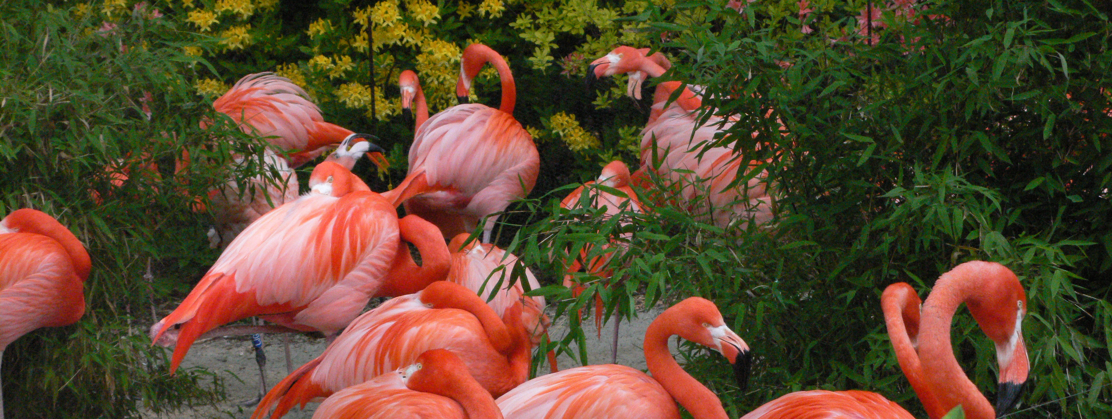 flamingi w ostravskim zoo